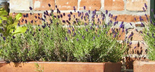Lavendel auf der Terrasse
